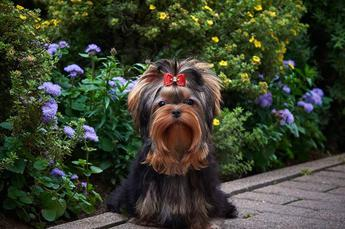 Our-Yorkies