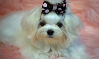 Little Luv's Yorkies and Maltese | Vista, CA 92084